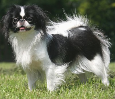 Smallest Dogs In The World-japanese-chin